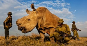 The last Northern White Rhino requires 24/7 armed guards.