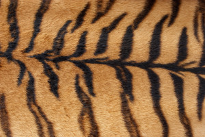 »  Tiger Fur Texture Closeup of animal fur  »  Uploaded by sh0dan (|) on Aug 2, 2005     Usage Royalty free