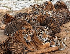 tiger group in Chinese farm.
