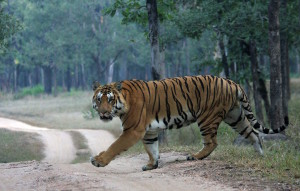 A tiger crossing a forest road in Pench Tiger Reserve.