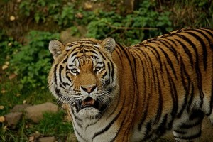 Panthera Tigris - How Helpful is taxonomic subdivision?