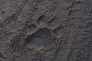 tiger pugmark in the dust
