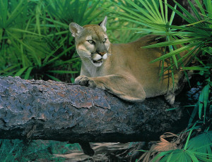 Florida Panther on log.