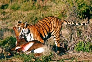 a recently introduced china tiger with it's Blesbuck prey