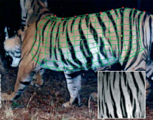 An image of a tiger with digital mesh superimposed and a closeup showing the stripe pattern