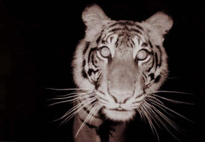 night vision shot of a tiger face on.