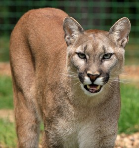 Close up image of a Texas Cougar