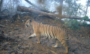 tiger and felled tree