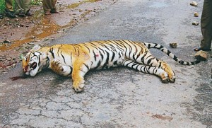 dead tiger on National Highway 212 Bandipur