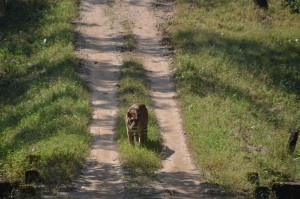 A lone Bengal Tiger on a road