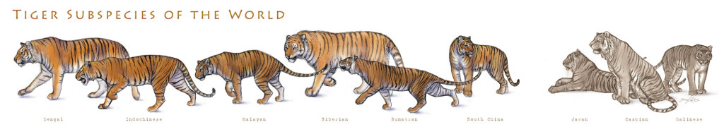 Tiger subspecies of the world: bengal, Indochinese, Malayan, Siberian, Sumatran, South China,  Javan, Caspian, Balinese