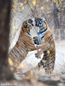 Bengal tigers fighting
