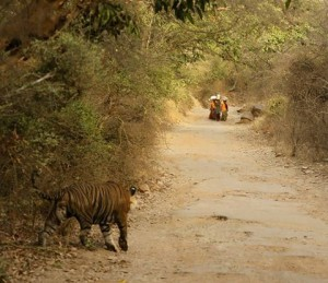 Tiger watching villagers traverse his territory.