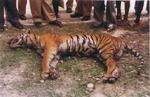 a dead tiger with a crowd of onlookers