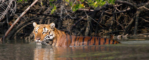 Tiger in mangrove swamp