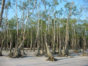 Mangrove trees in sand